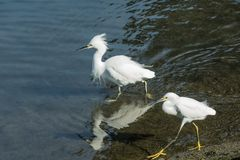 Two Egrets walking along the shoreline in shallow water Stock Image