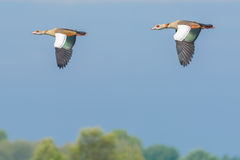 Two Egyptian Geese Flying By Royalty Free Stock Image