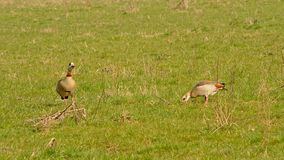 Two Egyptian geese foraging for food, pecking in the ground, selective focus - Alopochen aegyptiaca. Two Egyptian geese standing in a green meadow,pecking in the royalty free stock image