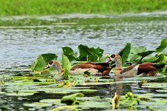 Two Egyptian geese Royalty Free Stock Photography