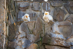 Two egyptian vultures or Neophron percnopterus Stock Photo