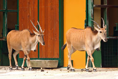 Two Eland Antelope in the zoo Royalty Free Stock Photography