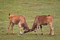 Two eland fighting Stock Photo