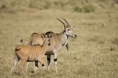 Two Eland on the Masai Mara Stock Image
