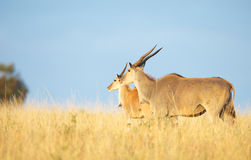 Two Eland (Taurotragus oryx). Worlds largest antelope, standing in savannah in the nature reserve in South Africa Royalty Free Stock Images