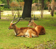 Two Eland Taurotragus oryx , worlds largest antelope. Two Eland Taurotragus oryx , worlds largest antelope laying on grass Royalty Free Stock Images