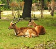 Two Eland Taurotragus oryx , worlds largest antelope. Royalty Free Stock Images