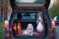 Two elegant Afghan hounds in the car,. The concept of travel with animals, transportation of dogs. Dogs in the trunk of a car with suitcases and luggage stock photos