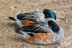 Two ducks snoozing on the sand, a male and his mate, the female. Two elegant, colorful ducks resting and snoozing on the sand together Stock Photography