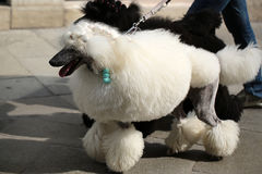 Two elegant standard poodles. Photo of two elegant standard poodles breed dogs pets white and black coat colors continental clip walked on lead along flag-stone royalty free stock photos