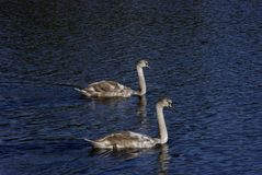 Two elegant wild swans stock photo