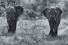 Two elephant bulls walking through bush artistic conversion Royalty Free Stock Images