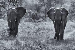Two elephant bulls walking through bush artistic conversion. Two elephant bulls walking through the bush artistic conversion Royalty Free Stock Images