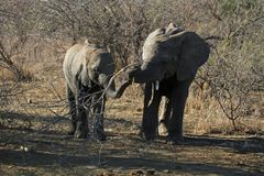 Two Elephant calf`s playing with a stick royalty free stock photography