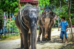 Two elephant eat green grass with trunk. In Thailand stock photos