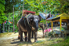 Two elephant eat green grass with trunk. In Thailand royalty free stock photo