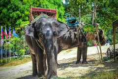 Two elephant eat green grass with trunk. In Thailand royalty free stock photography