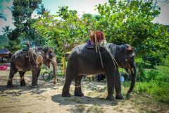 Two elephant eat green grass with trunk. In Thailand royalty free stock images