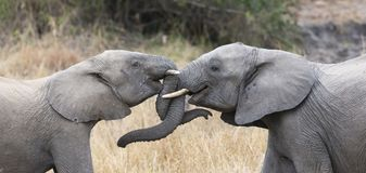 Two elephant greet affectionate with curling touching trunks. Two elephant greet affectionate with curling and touching trunks Stock Image