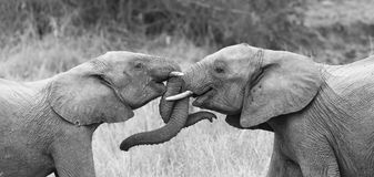 Two elephant greet affectionate with curling and touching trunks. Two elephant greet affectionate with curling touching trunks royalty free stock images