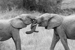 Two elephant greet with curling and touching trunks artistic con Stock Photography