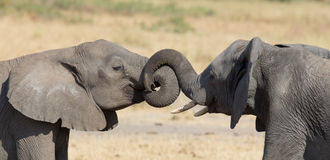 Two elephant greeting at a waterhole to renew relationship. Two elephant greeting at a waterhole to renew their relationship royalty free stock image