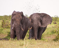 Two elephant having a mud bath splash. With tusks royalty free stock photography