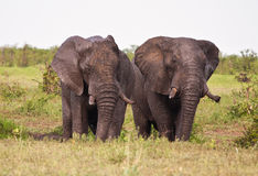 Two elephant having a mud bath splash. With tusks royalty free stock images