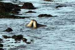 Two Elephant Seals. Having fun togehter in ocean stock image