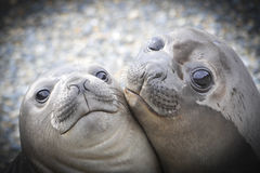 Two Elephant Seals Stock Images