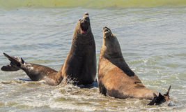 Two elephant seals in a fight over a female. Royalty Free Stock Photo