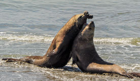 Two elephant seals in a fight over a female. Royalty Free Stock Image