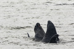 Two Elephant Seals fighting in the water Stock Photos