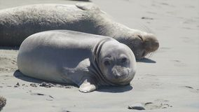 Two elephant seals sunning on the beach near San Simeon California. Scene from a colony of elephant seals spending time at Piedras Blancas in the southern range stock video
