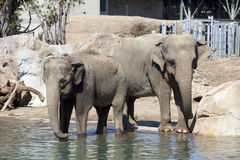 Two elephants Stock Photography
