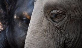 Two Elephants. Closeup of two 50 year old Asian Elephants Stock Photo