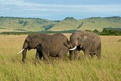 Two elephants. Two African elephants in Kenya's Masai Mara park Royalty Free Stock Image