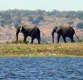 Two Elephants. Elephants walking beside the Chobe river on the border between Botswana and Namibia Stock Photo
