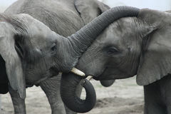 Two Elephants. Two small elephants (Loxodonta africana Royalty Free Stock Images