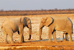 Two elephants. Two african elephants facing each other Stock Images