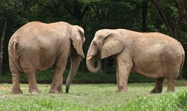 Two Elephants Royalty Free Stock Images
