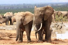 Two elephants. A bull elephant and a female elephant at a waterhole Royalty Free Stock Photo