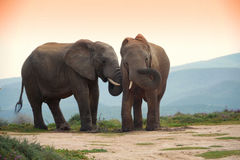 Two elephants in addo elephant park,  south africa. Two elephants at sunset in addo elephant park, south africa Stock Image