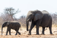 Two Elephants, adult and child, on the way to waterhole Royalty Free Stock Photos