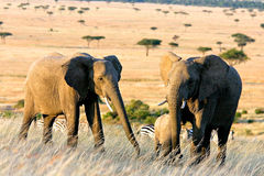 Two Elephants in Africa Stock Photography