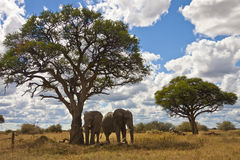 Two Elephants - Botswana. Two elephants (Loxodonta africana) standing in the shade of an Acacia Tree in the Savuti region of northern Botswana Stock Images