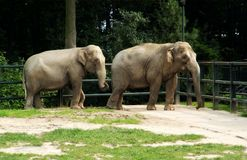 Two elephants on the catwalk Royalty Free Stock Photography