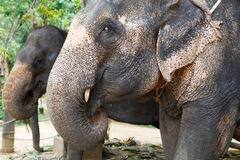 Two elephants close-up portrait Royalty Free Stock Photo