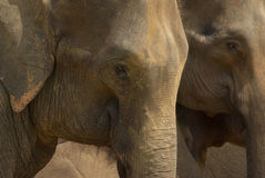 Two elephants Royalty Free Stock Photography