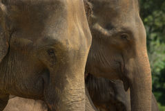 Two elephants Royalty Free Stock Photos